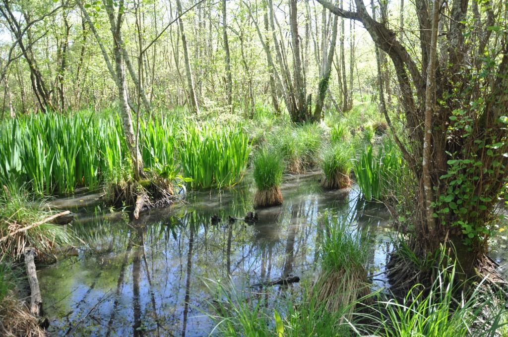 Marais des Bourbes - Cariçaie sous aulnaie-saulaie avec touradons de Carex à droite et Iris pseudacorus à gauche