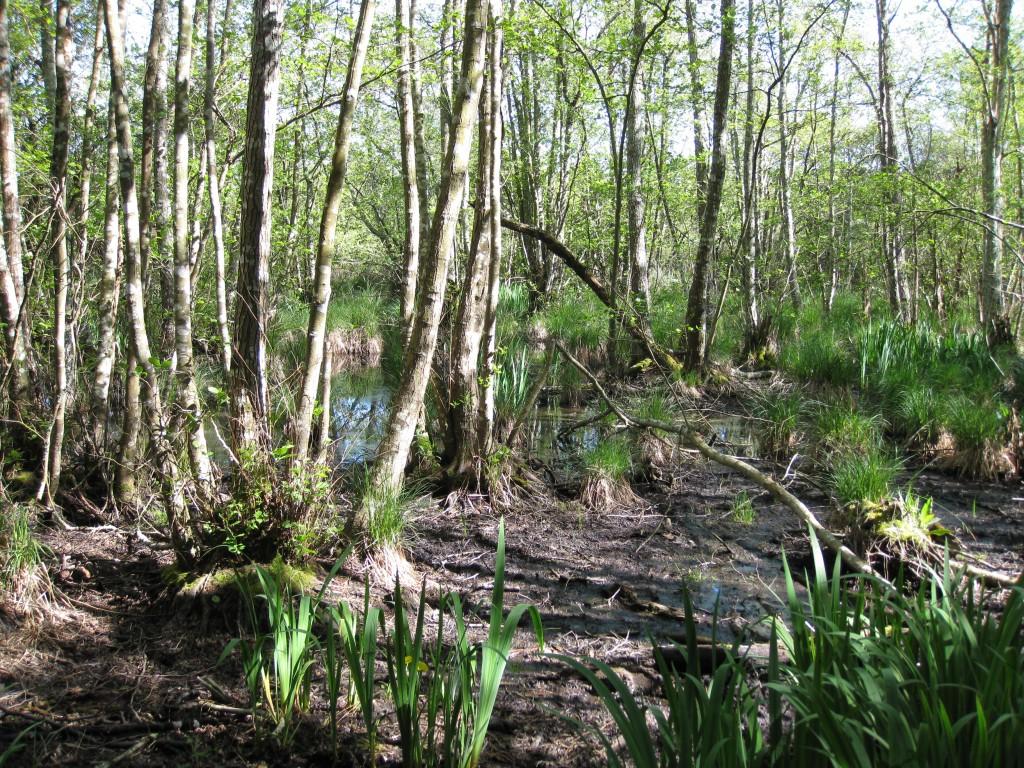 Marais des Bourbes - Cariçaie sous aulnaie-saulaie avec touradons de Carex au second plan et Iris pseudacorus au premier plan