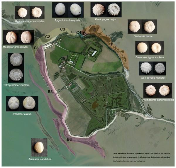Île Madame - Répartition des différentes espèces d'Oursins