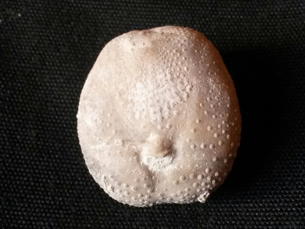 Mecaster grossouvrei - face orale