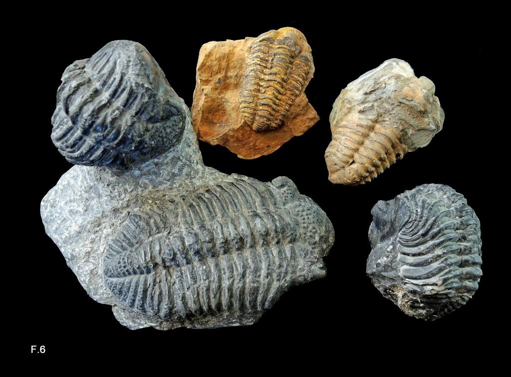 Trilobites du Maroc