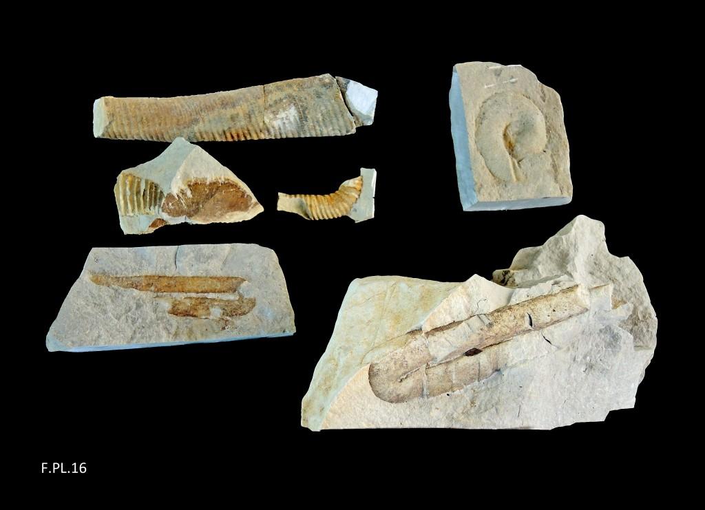 Ammonites déroulées - Hauterivien