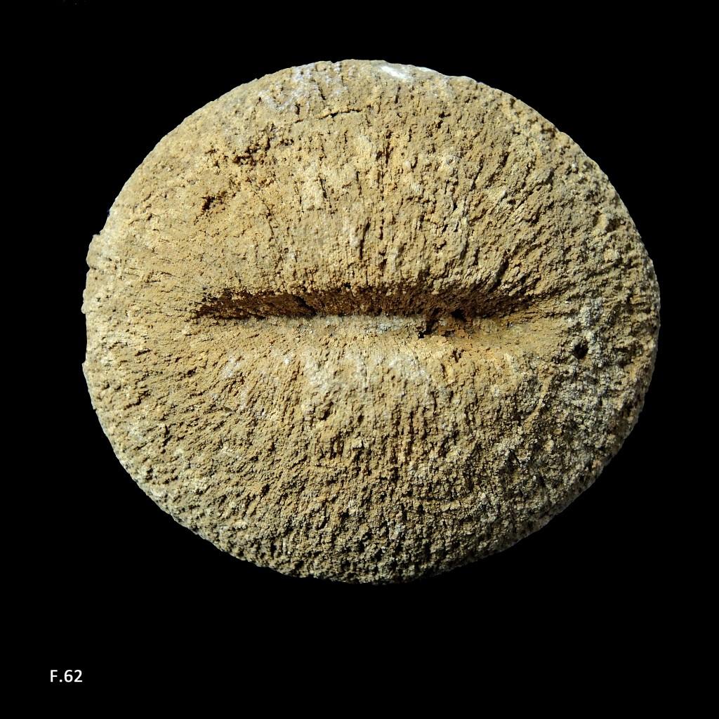 Madréporaire Cyclotites ellipticus - Turonien