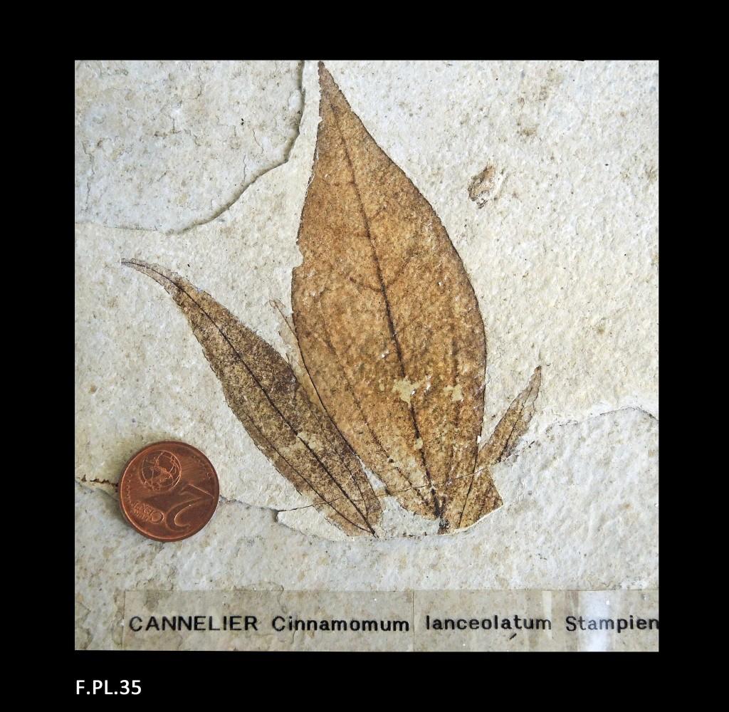 Feuilles de Cannelier (Famille des Lauracées) - Stampien - (04 - Forcalquier)