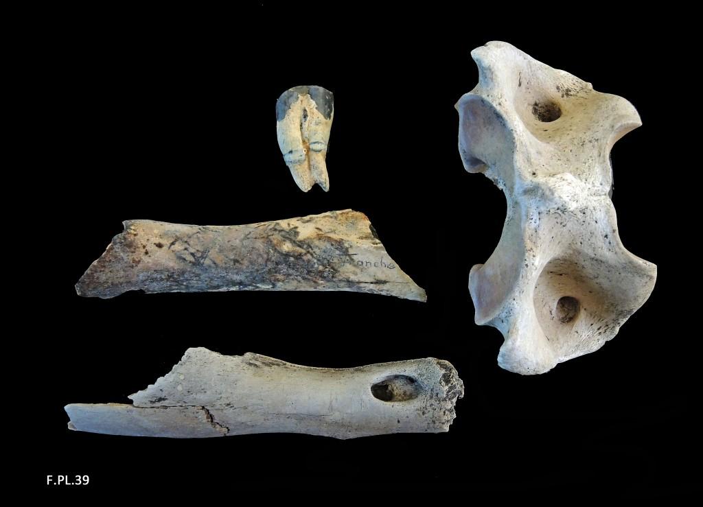 Os, dent et vertèbre de Bœuf (Bos) - Littoral vendéen - Quaternaire