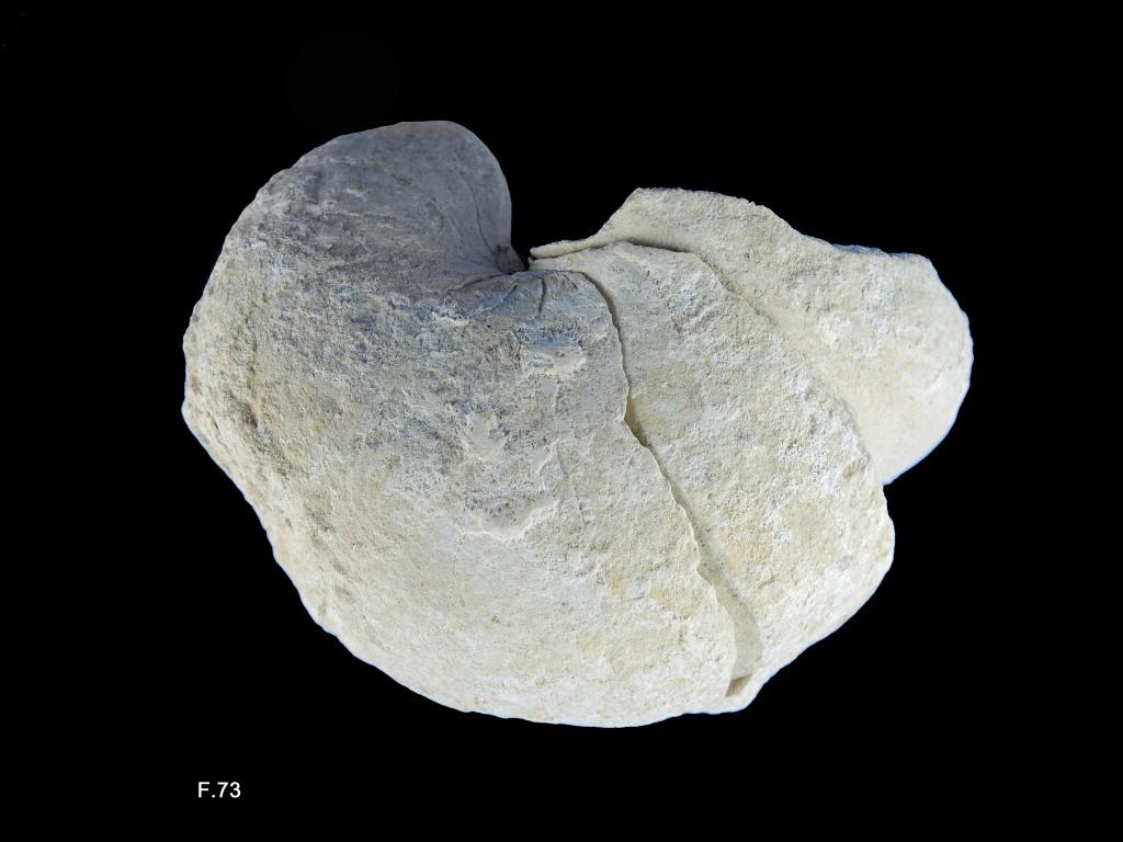 Nautile - Aptien (Bédoulien)
