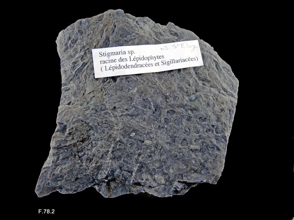 Stigmaria (rhizome de Sigillaire ou de Lepidodendron) - Stéphanien supérieur - (03 - Saint-Éloy)
