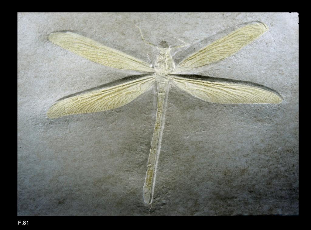 Stenophlebia amphitrite (Insecte Odonate) - Kimmeridgien