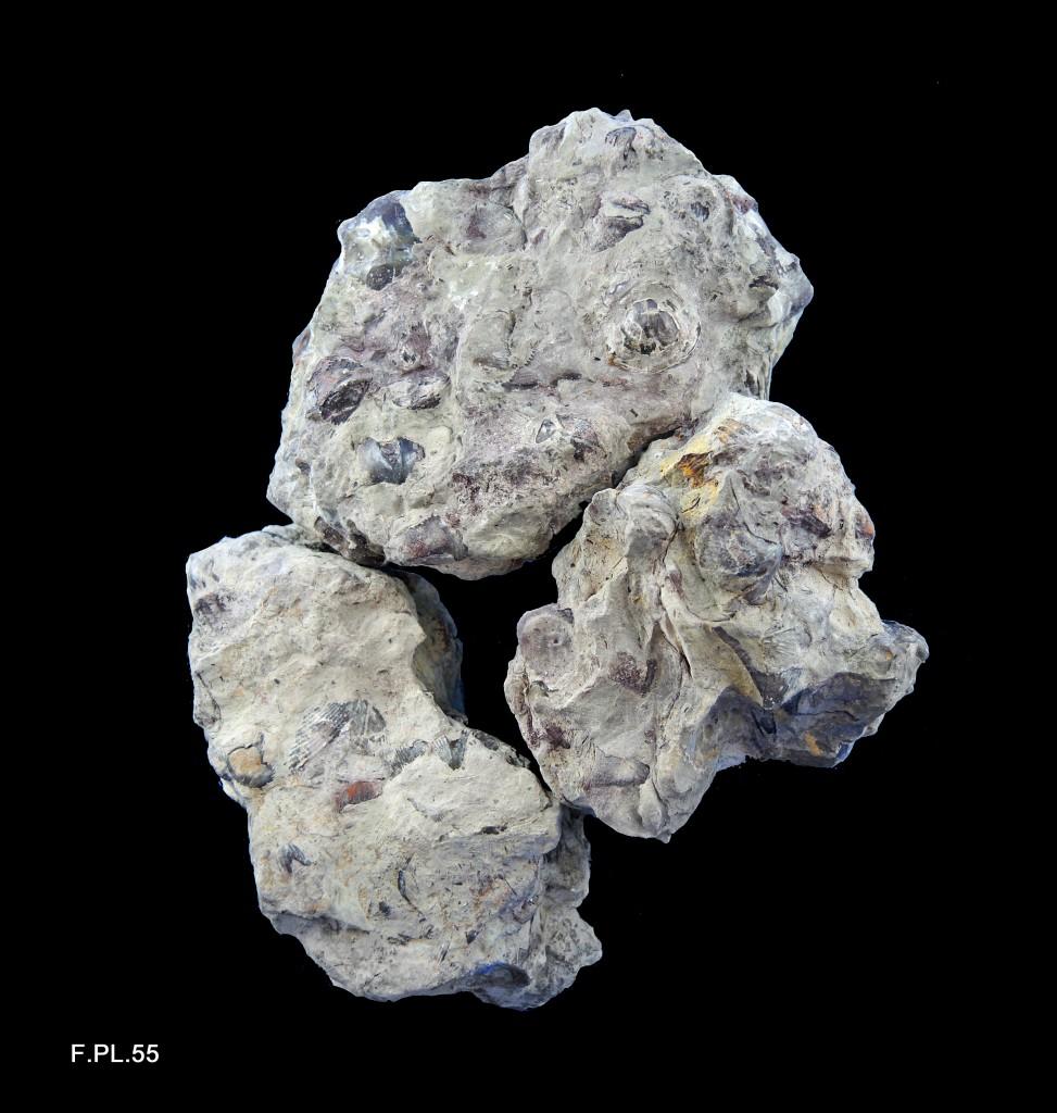 Calcaire à Brachiopodes - Dévonien