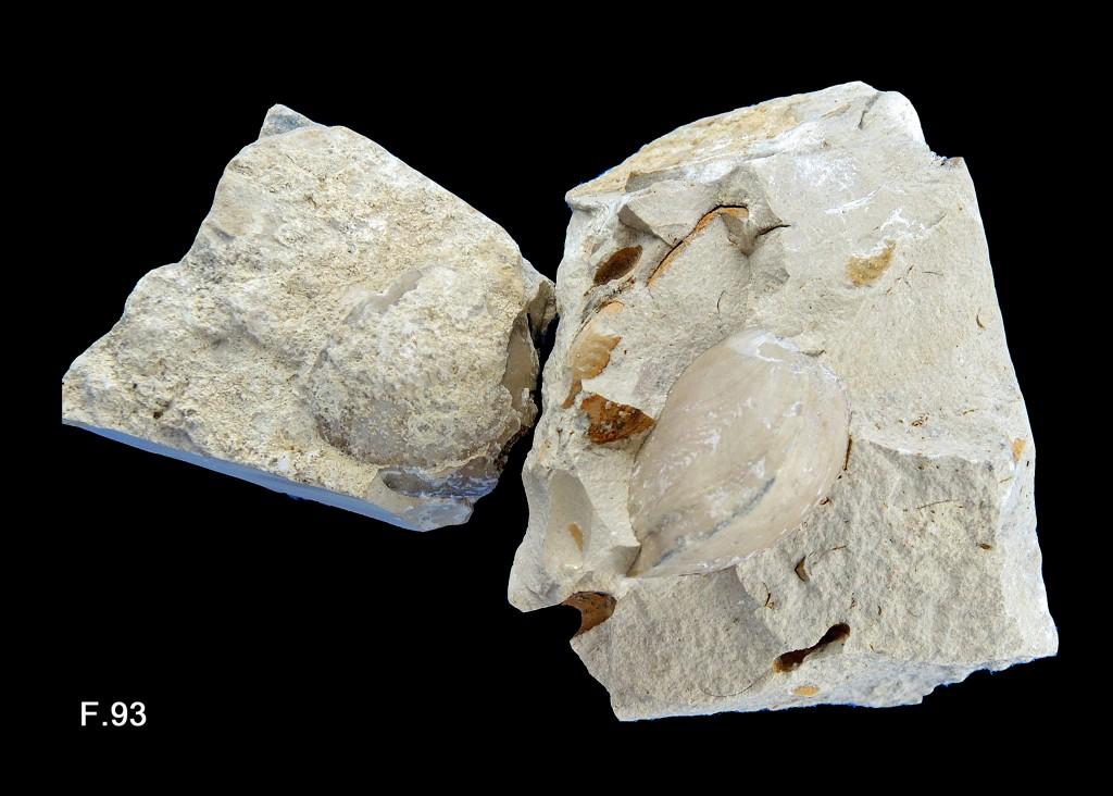 Calcaire à Brachiopodes - Bathonien