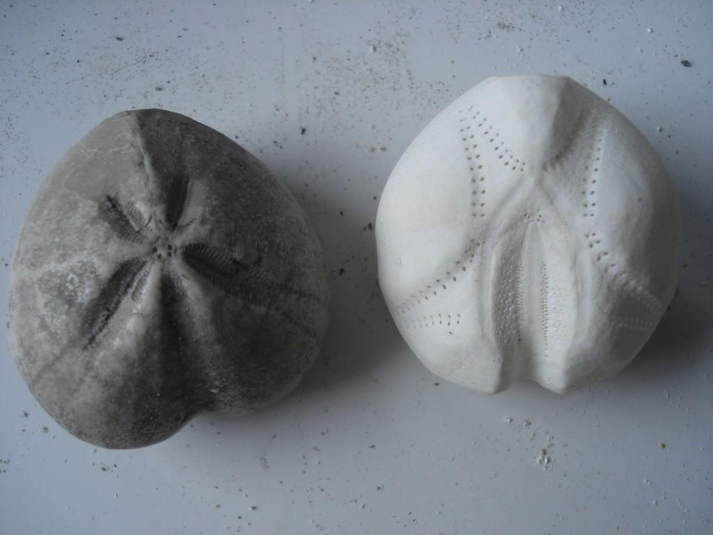 Oursin irrégulier fossile (à gauche : Micraster sp.) et Oursin irrégulier actuel (à droite : Echinocardium cordatum)