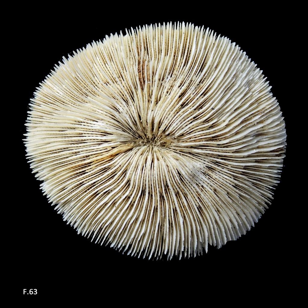 Madréporaire Fungia - Actuel