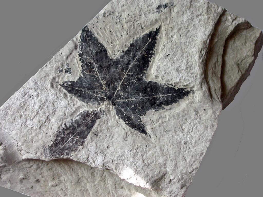 Feuille d'érable dans de la diatomite - Miocène supérieur - (15 - Carrière de Foufouilloux)