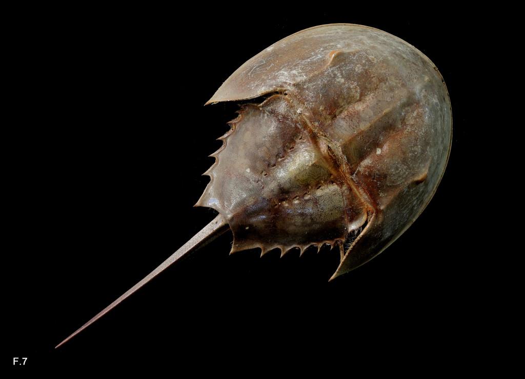 Limulus polyphemus (Limule - Mérostome) - Actuel - Vue dorsale