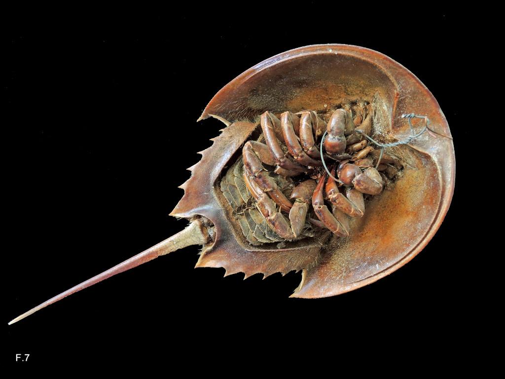 Limulus polyphemus (Limule - Mérostome) - Actuel - Vue ventrale