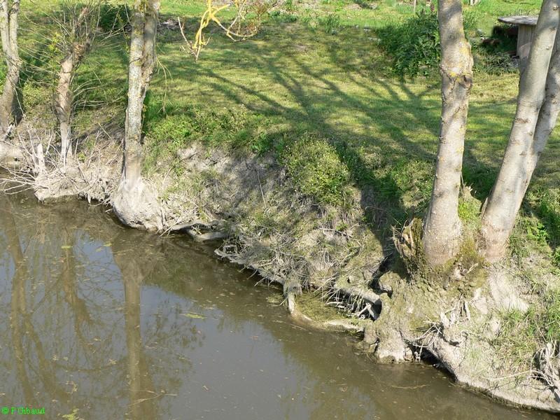 Stabilisation des berges par plantations d'arbres