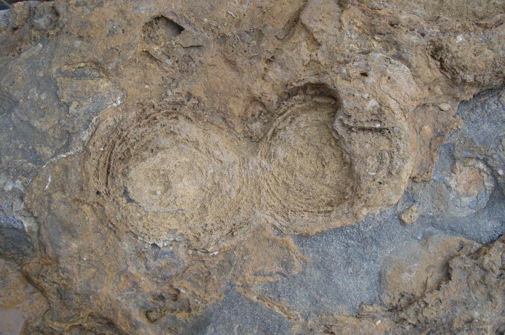 Stromatolithes - Hettangien - (85 - Le Veillon)